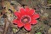 血色的輝映 新種緬甸山蓮名列寄生花屬成員 期刊Taiwania揭端倪
