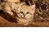 可愛警告:超萌沙漠貓寶寶罕見曝光!