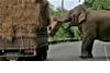 「停車!這是搶劫!」泰國大象攔車搶牧草