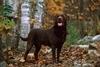 為什麼巧克力色拉布拉多比其他拾獵犬短命?