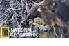 驚悚畫面:看非洲獵鷹捕抓並斬首獵物……