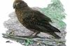 紐西蘭出土「嘎吉拉」鸚鵡,身高達人類一半