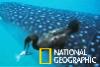 罕見畫面:鯨鯊是鸕鶿的移動「鮣魚自助餐」桌!
