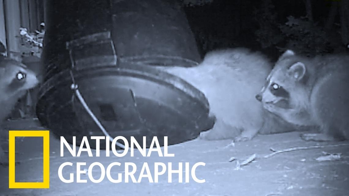 把自己困在桶中的貪吃浣熊!