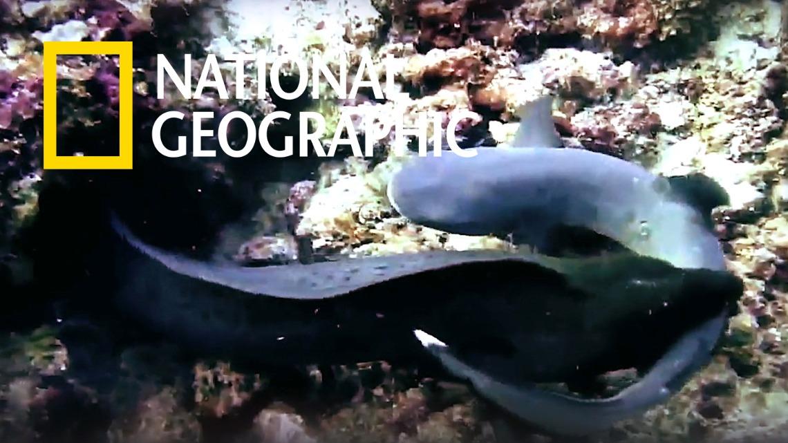 鯙鰻 vs 白頂礁鯊