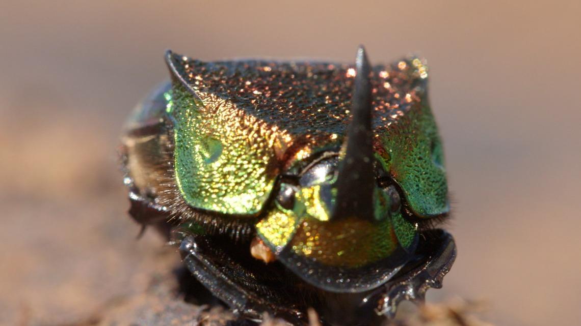這種愛吃糞便的甲蟲竟然如此美艷動人