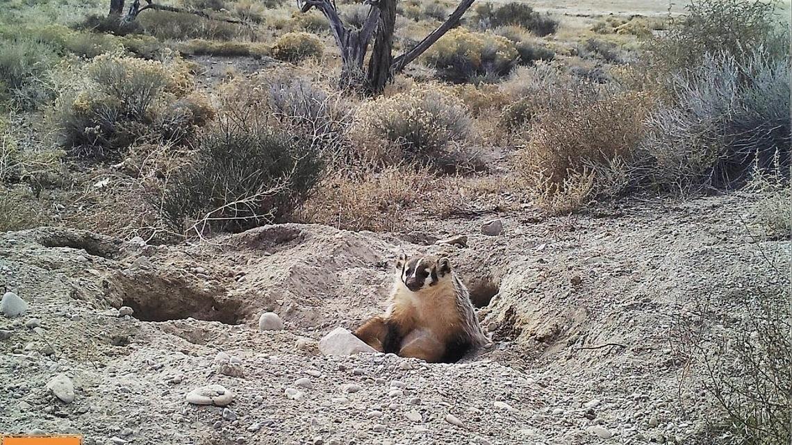 首見獾掩埋比自己體型大幾倍的動物屍體