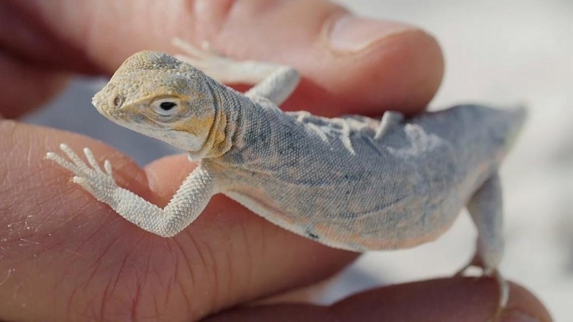 這些蜥蜴變色祕訣將為人類基因解密