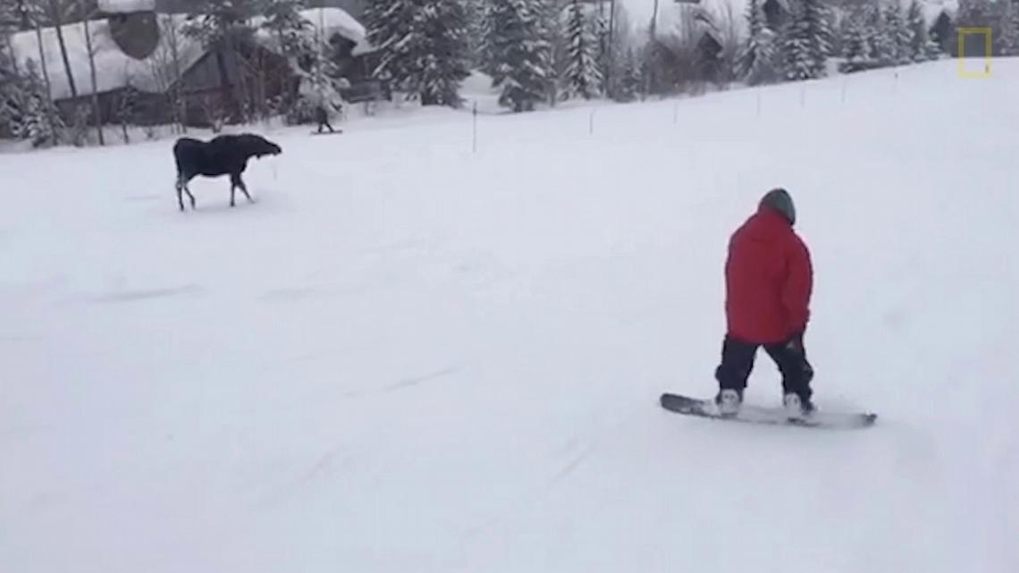 罕見畫面:駝鹿窮追滑雪板玩家