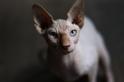 貓咪的藍眼睛