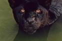 想當黑豹請三思:牠們的「黑」不一定是好事