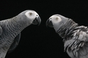 研究證實鸚鵡會「雪中送炭」