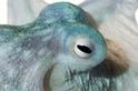 摩羯座夜章魚