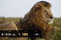 101動物教室:獅子