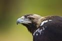 趁疫情偷抓瀕危鱘魚 野生動物犯罪急升 WWF警告:中東歐保育類猛禽陷危機