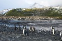 國王企鵝聚落
