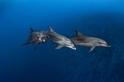 野生海豚有大膽或害羞的性格,就像人類一樣!