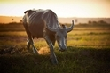 稻田裡的水牛