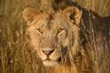 搶救大貓!研究獅子演化為保育帶來啟發