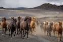 奔竄的冰島馬