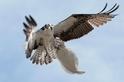 抓著魚的魚鷹