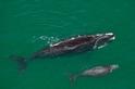異常瘦弱的瀕危北大西洋露脊鯨,這個警訊代表什麼?