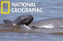 湄公河「微笑海豚」的復甦之路