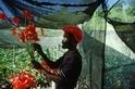 牙買加花農