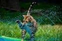 玩滑水梯的孟加拉貓