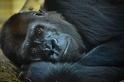 史密森尼國家動物園的大猩猩