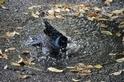 美洲黑羽椋鳥