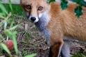 院子裡的狐狸