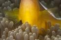 白背雙鋸魚