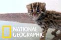 這不是家貓,而是隻可愛的豹貓(石虎)寶寶!