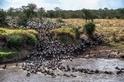 牛羚大遷徙