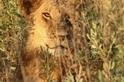 灌木叢間的雄獅