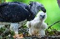 拯救亞馬遜的大型猛禽