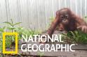 這是一所紅毛猩猩幼兒園