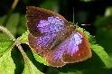 為蜜露著了魔 還組親衛隊誓死保護 揭祕螞蟻與灰蝶間的錯綜關係