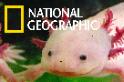 保育人士正努力確保這種「粉紅小精靈」不會在野外滅絕