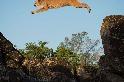 飛躍的美洲獅
