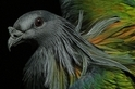 燦爛羽衣:尼可巴鳩