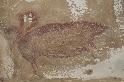 這幅4萬5500年前的豬壁畫是世上最古老的動物形藝術品