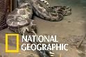 在群眾圍觀下,蟒蛇能順利吞下羚羊嗎?