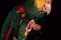 黃頭亞馬遜鸚哥