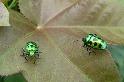 玻璃般的甲蟲