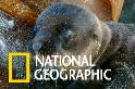近距離觀察加拉巴哥海獅的分娩過程