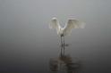 水中的大白鷺