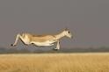 飛躍的羚羊
