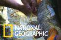 看科學家如何幫野生鮭魚取精取卵